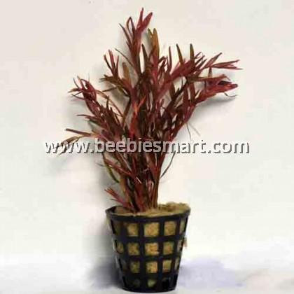 Rotala rotundifolia red
