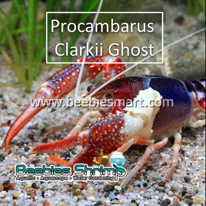 Procambarus clarkii ghost