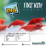 Fire Red Shrimp