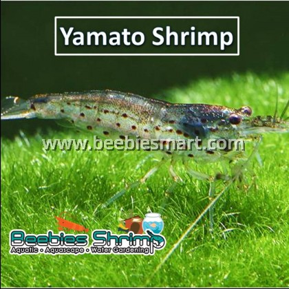 Yamato/ Amano Shrimp