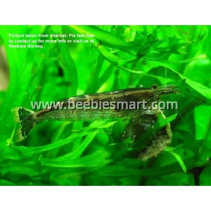 Malaya Shrimp