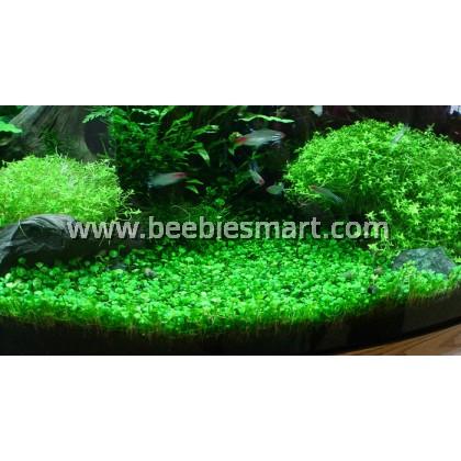 Glossostigma elatinoides Carpet Plant - Fore Ground Plant