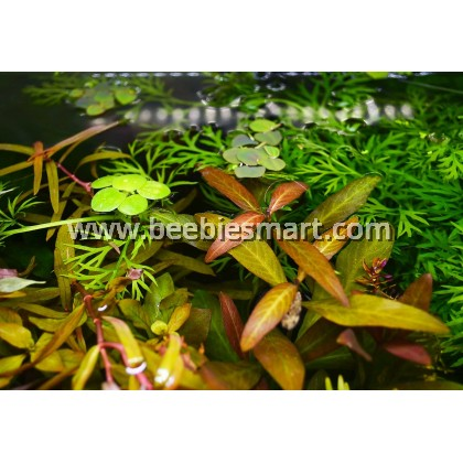 Hygrophila sp. 'Green Olive'