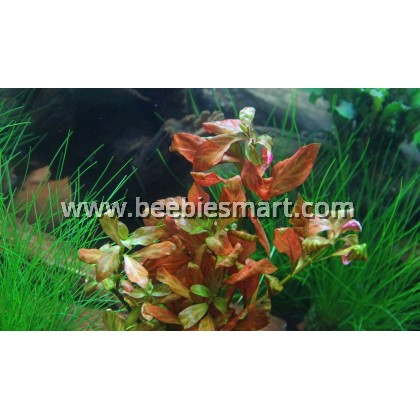 Ludwigia sp. 'Dark Orange'