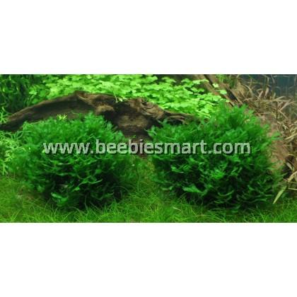 Monosolenium tenerum - Pelia Moss