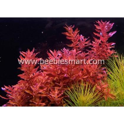 Rotala Macrandra EasyGrow  (Aquarium/Aquascape/Plant)