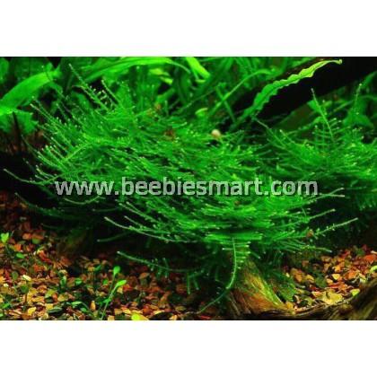 Taxiphyllum alternans