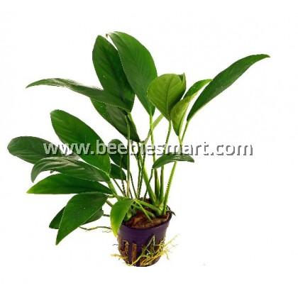 Anubias barteri 'angustifolia'