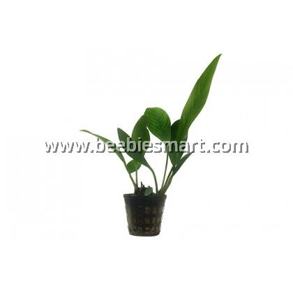 Anubias Heterophylla Congensis