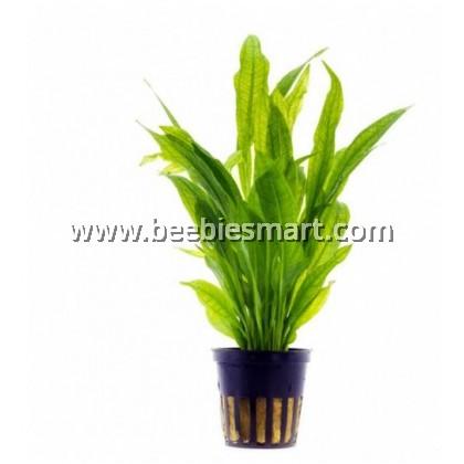 Echinodorus Bleheri - Fore Ground Plant