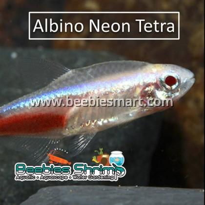 Albino Neon Tetra