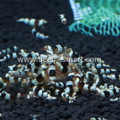 Caridina-Crystal Black Shrimp