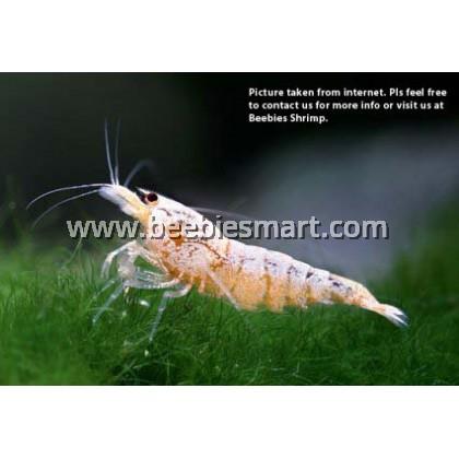 Caridina-Golden White Bee Shrimp