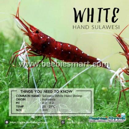 Sulawesi White Hand Shrimp