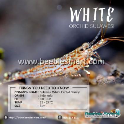 Sulawesi White Orchid Shrimp