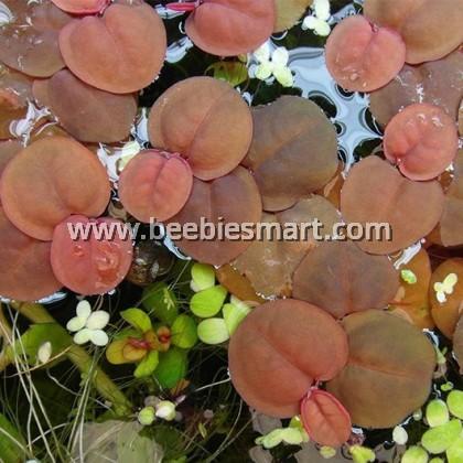 Phyllanthus Fluitans (Apple Duckweed)