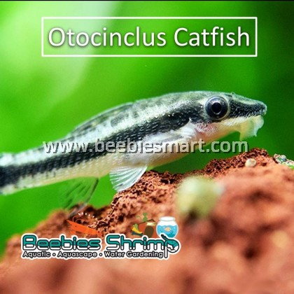 Otocinclus Catfish (Otto Algae Eater)