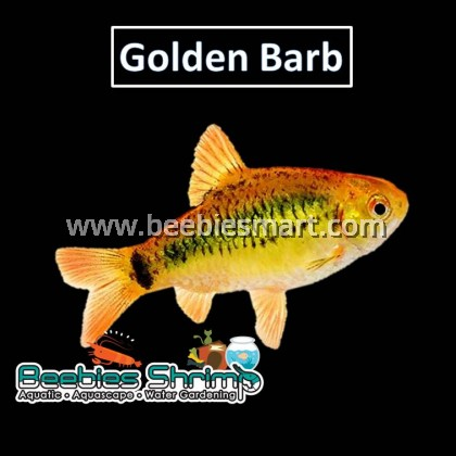 Golden Barb