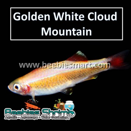 Golden White Cloud Mountain