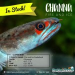 Channa Fire and Ice