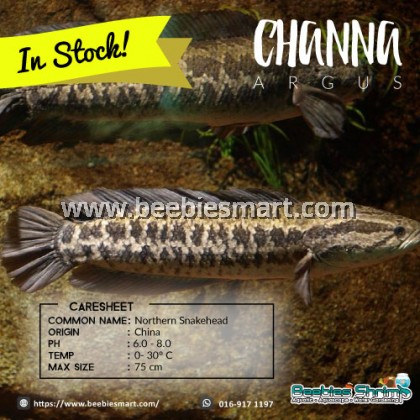 Channa Argus (Northern Snakehead)