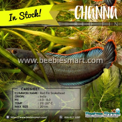 Channa Redfin