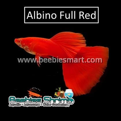 Albino Full Red