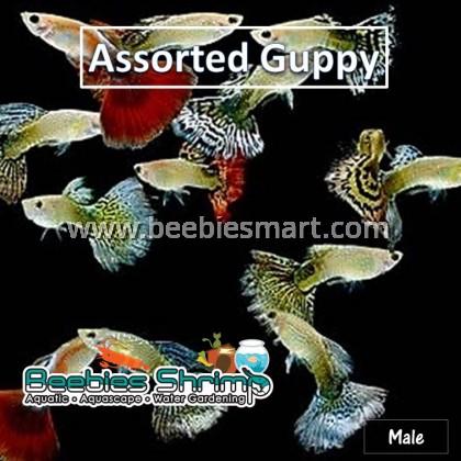 Assorted Guppy