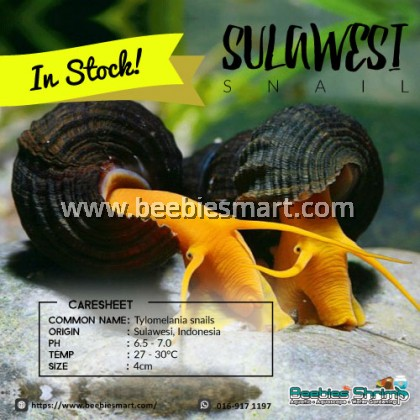 Sulawesi Snail