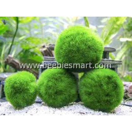 Marimo Ball / Marimo Moss Junior