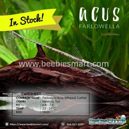 Farlowella Acus