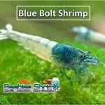 Blue Bolt Shrimp