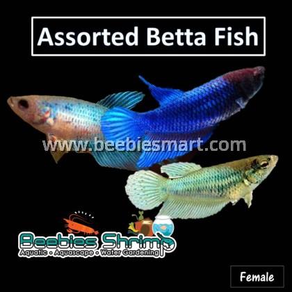 Assorted Siamese Betta Fish