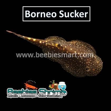 Borneo Sucker
