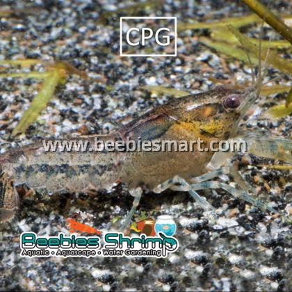 Cambarellus patzcuarensis Grey (CPG)