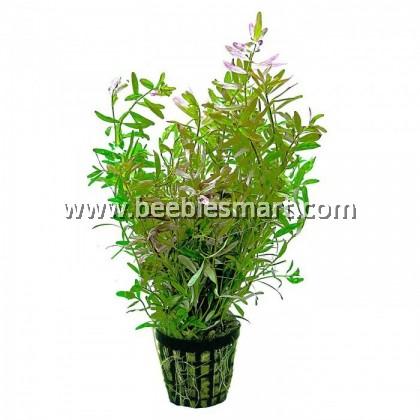 Aquatic Plant / Water Plant Rotala Plant 1 Stem / 1 batang