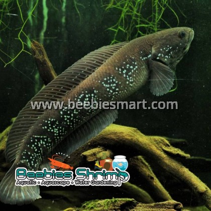 Channa Asiatica Green (Chinese Snakehead)