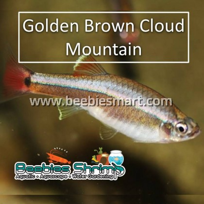 Golden Brown Cloud Mountain