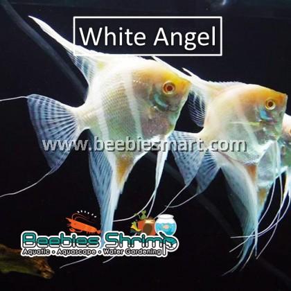 Red Eye White Angel Fish