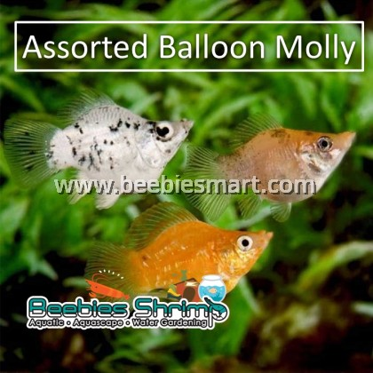 Assorted Balloon Molly Fish