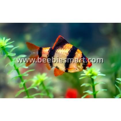 Small Fishes for Aquarium