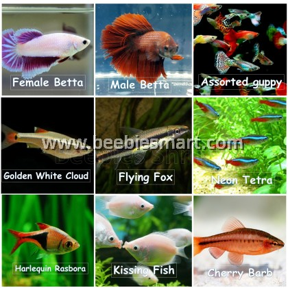Small Fishes for Aquarium