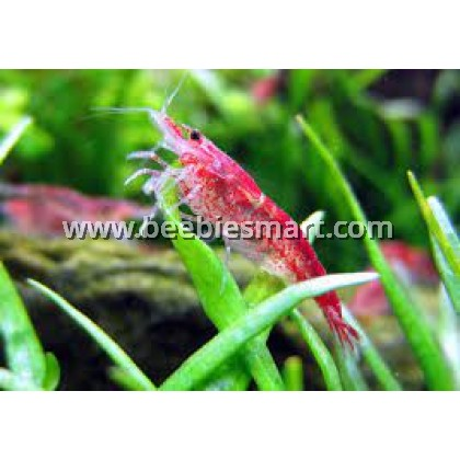 All Shrimps Available