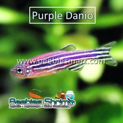 Purple Zebra Danio