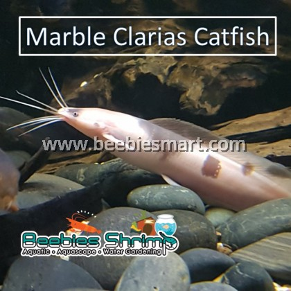 Marble Clarias Catfish