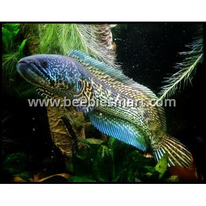 Channa Fish