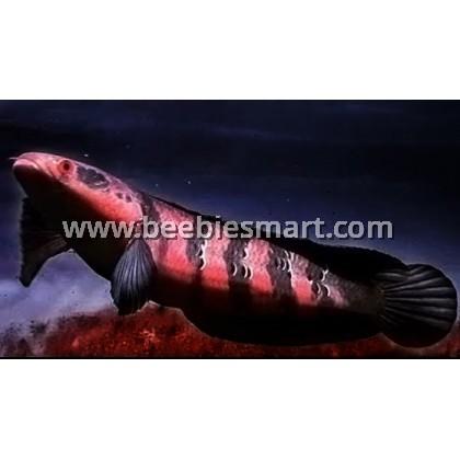 Channa Fish Available