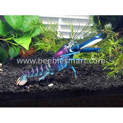 Crayfish Available in Stock