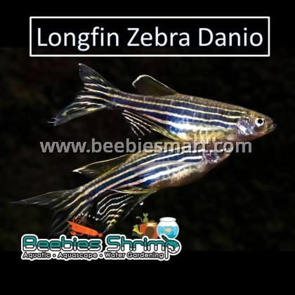 Longfin Zebra Danio