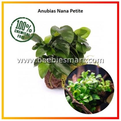 Anubias Nana 'Petite'